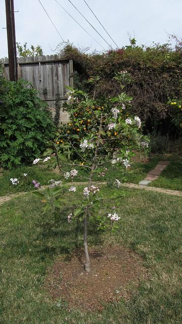 IMG_7043 dorset golden apple tree blossoms