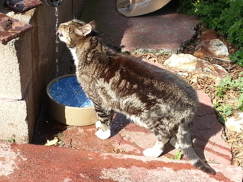 improvised cat drinking fount ain by LISgirl