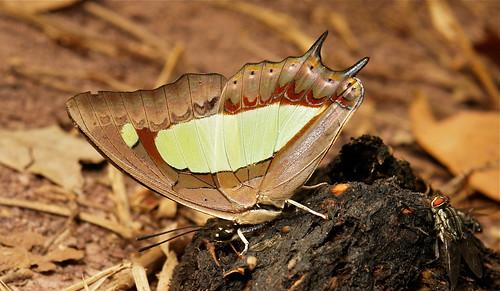 Common Nawab (Polyura athamas, Charaxinae, Nymphalidae)
