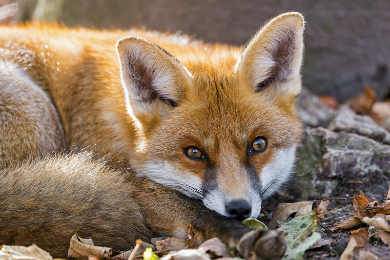 Lying relaxed fox