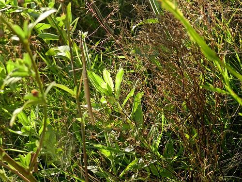 insecto palo, encontrar 2