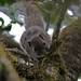 Dusky Palm Squirrel (John Young)