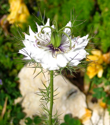 nigella / love-in-a-mist