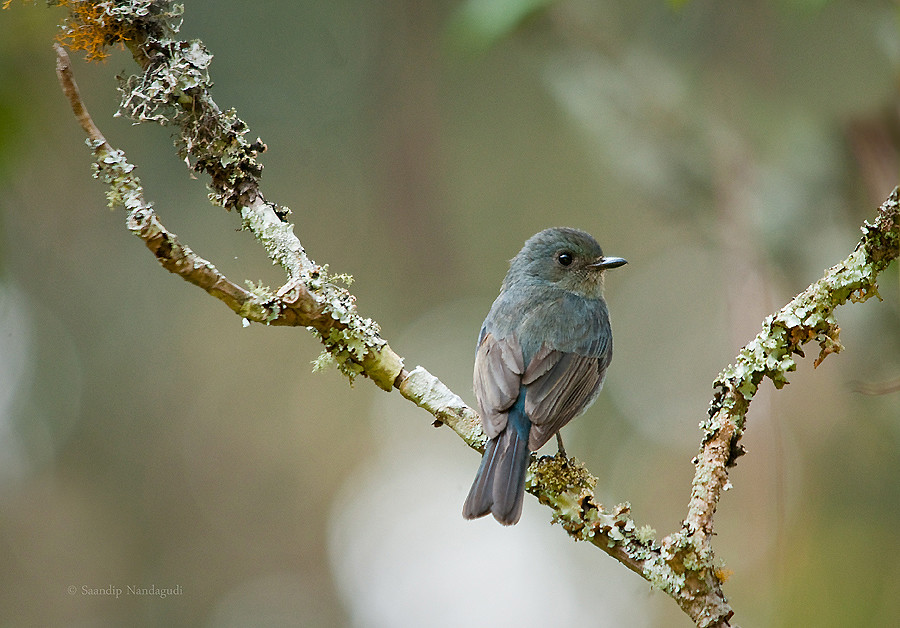Nilgiri Flycatcher-Male