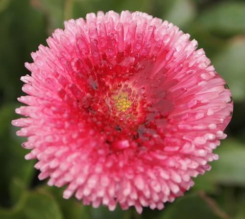 Pink Daisy (Bellis)