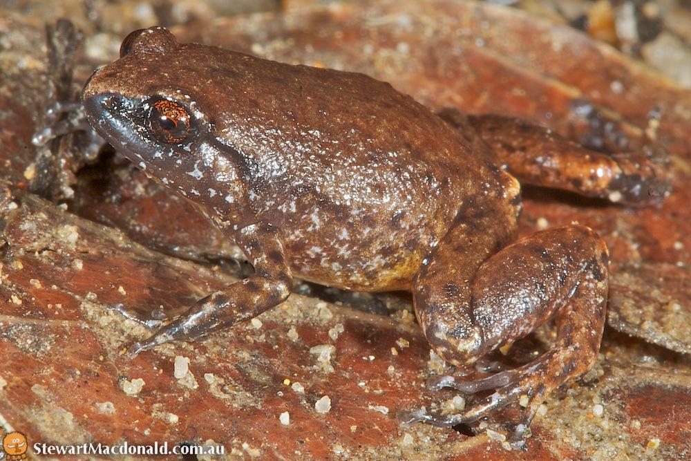 Fry's frog (Austrochaperina fry)