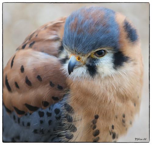bird nikkor f28 sanctuary americankestrel tc20 sanctuaryworld ©copyright vigilantphotographersunite vpu2 vpu3 kestrelworld loverswbsnikond80070200mm
