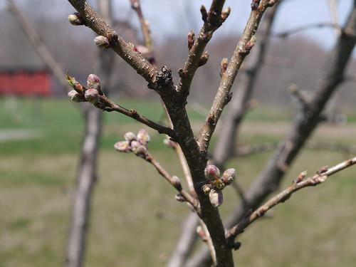 Early fruit blossoms