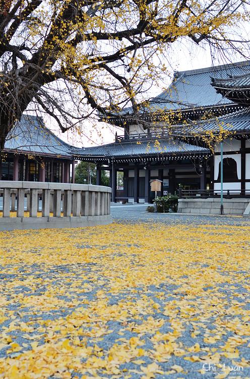 [日本。京都]世界文化遺產西本願寺。落滿百年金黃銀杏