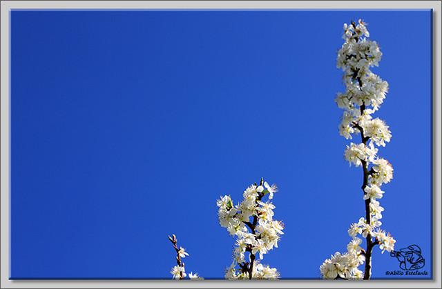 4 Caderechas en flor