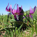 Dog's Tooth Violet <i>Erythronium dens canis</i>