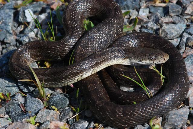 Black Rat Snake (Pantherophis sp.) | Flickr - Photo Sharing!