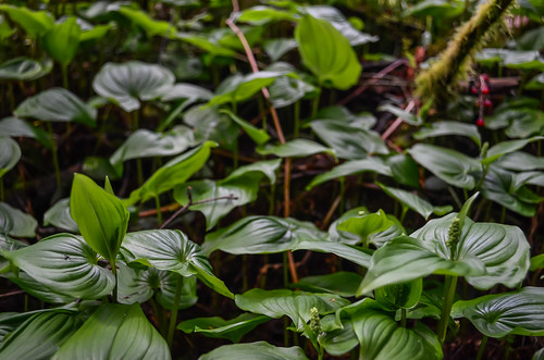 <p><i>Maianthemum dilatatum</i>, Asparagaceae<br /> Camosun Bog, Vancouver, British Columbia, Canada<br /> Nikon D5100, 18-55 mm f/3.5-5.6<br /> April 13, 2013</p>