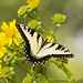 Butterfly on yellow by Jack Nevitt