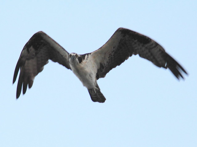 Osprey 20130210