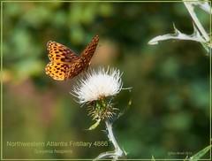 Northwestern Fritillary Grand Canyon butterfly by Ron Birrell; DSC_4866