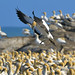 South Africa, Cape gannets by Vittorio Ricci (Thanks +++ 2.4 millions views)