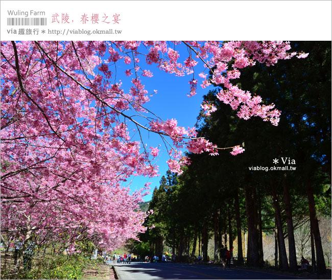 【武陵農場櫻花】武陵櫻花2013‧via賞櫻記(1)超美櫻花林~生態園區櫻花林!
