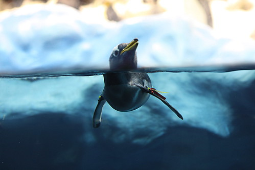 Gentoo Penguin by doegox