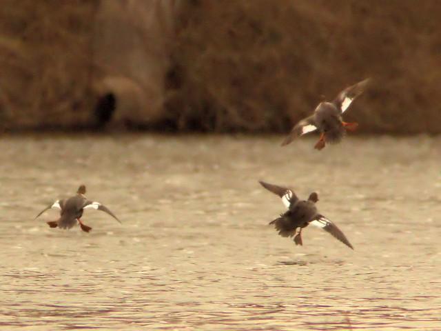 Common Goldeneyes landing edit 20130214