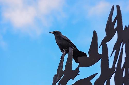 <p><i>Corvus caurinus</i>, Corvidae<br /> Boundary Bay Dyke Trail, Tsawwassen, British Columbia, Canada<br /> Nikon D5100, 70-300 mm f/4.5-5.6<br /> February 16, 2013</p>