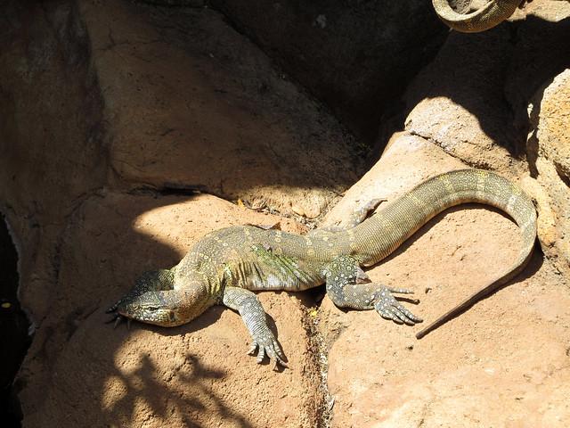 Nile Monitor Lizard   Flickr - Photo Sharing!