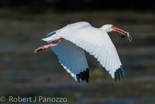 bird ibis sanibel sanibelisland whiteibis jndingdarlingnwr natureoutpost goldwildlife