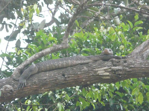 Monitor Lizard in tree