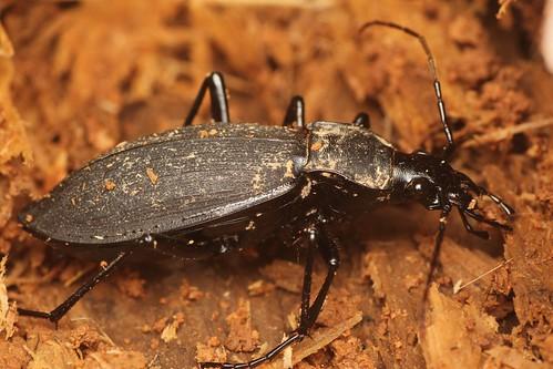 Carabus procerulus Chaudoir クロナガオサムシ