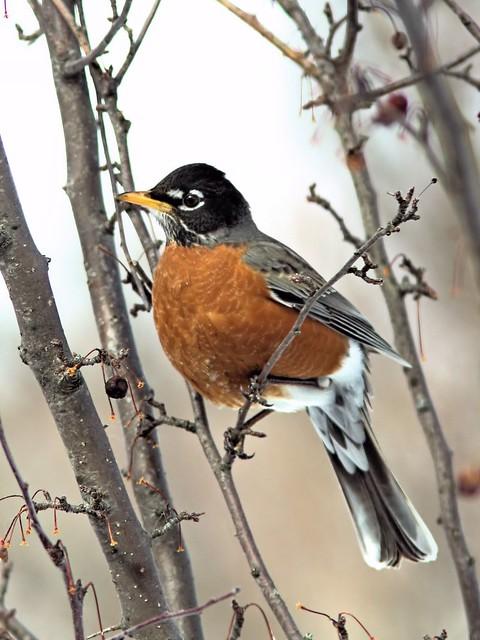 American Robin 20130302