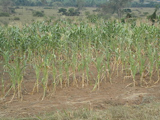Maize crop affected by drought Masha subcounty, Uganda