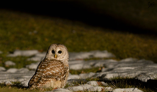 Barred Owl at Night by UpstateNYPhototaker