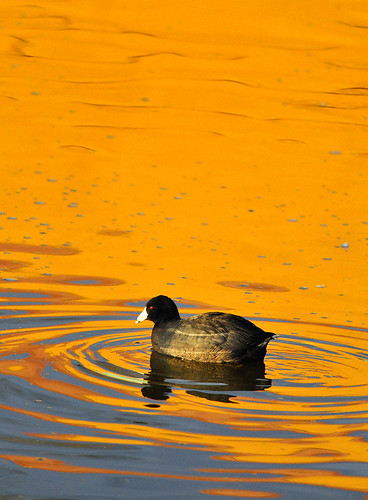 california orange color bird nature water golden colorful lakeside ripples southerncalifornia coot americancoot fulicaamericana birdphotography rallidae lindolake