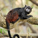 Primate Saguinus nigricolis_01_