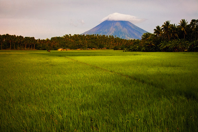 Mt Mayon and the Rice Fields by Michael Anderson