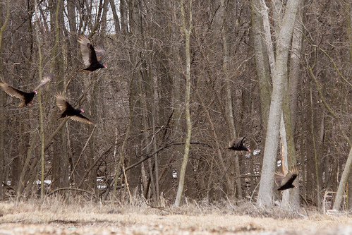 iowa turkeyvultures raptors