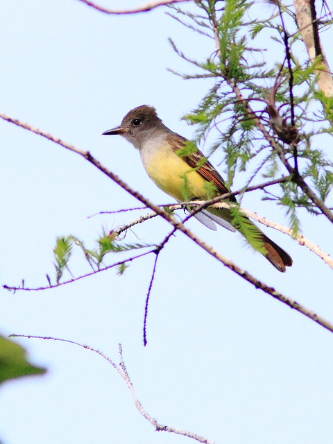 Great Crested Flycatcher 20130312