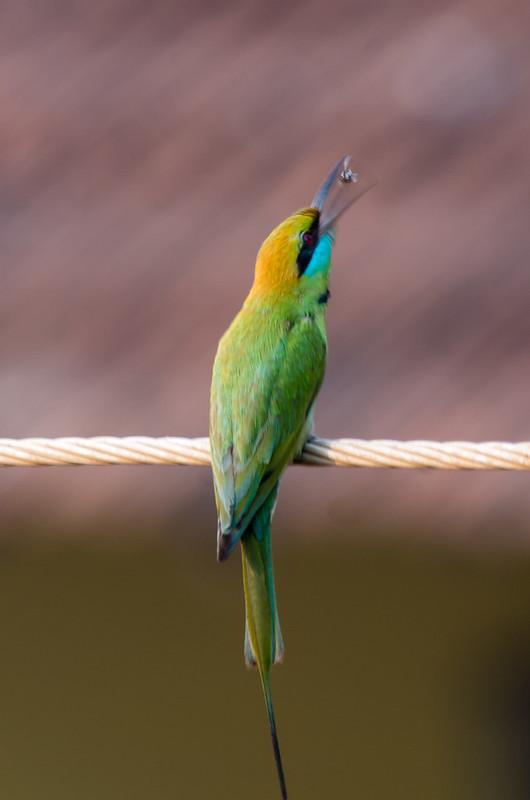 Little Green Bee-eater has breakfast