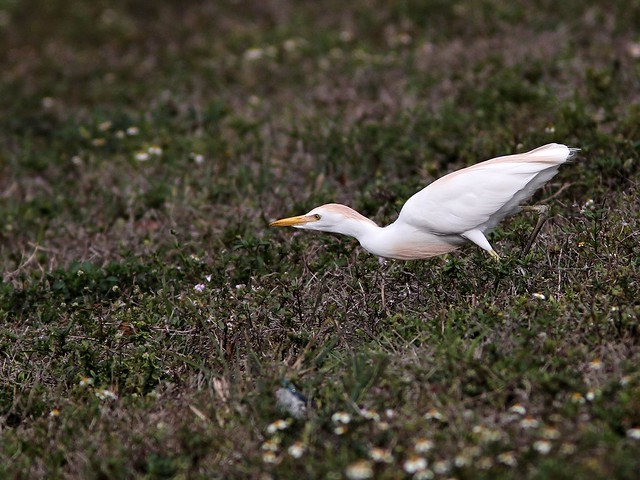 Cattle Egret hunting Halloween Pennants 2-20130322