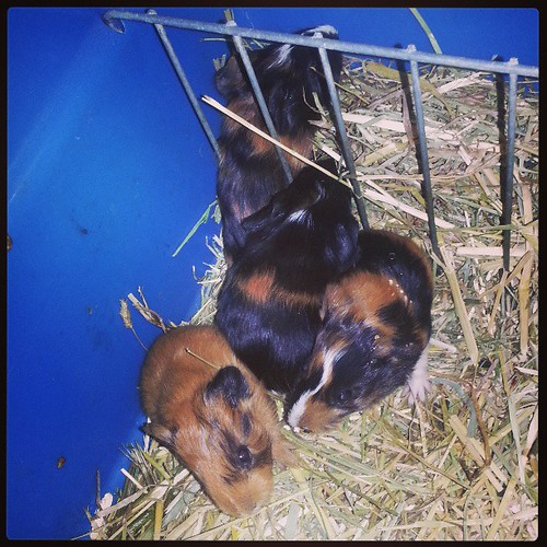 Kiki a eu 4 bébés à 13h ♥ donc voici kuku, keke, koko et kaka #cochondinde #blog #animal #kiki #guineapig #guineapigsofinstagram