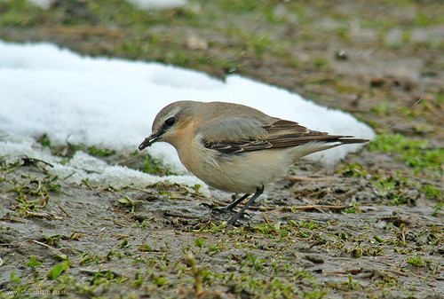 Wheatear in the snow