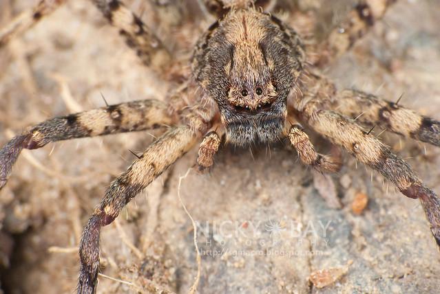 Huntsman Spider (Sparassidae) - DSC_9051