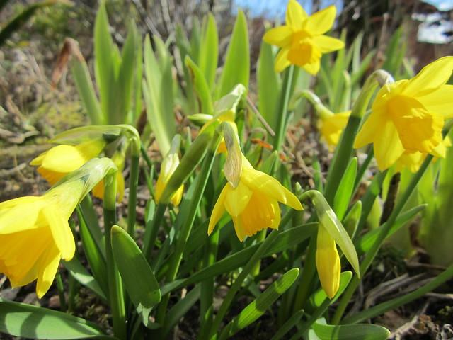 Easter daffodils (2)