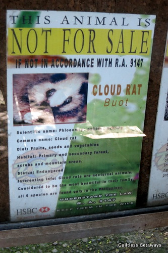 philippines-cloud-rat.jpg