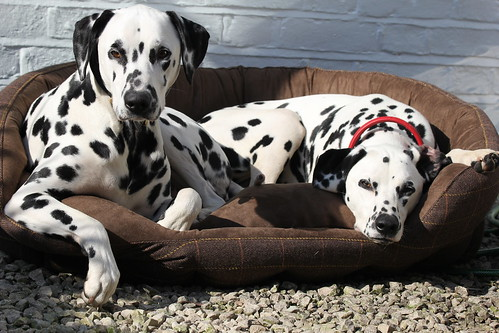 Dalmatians having a well earned rest.