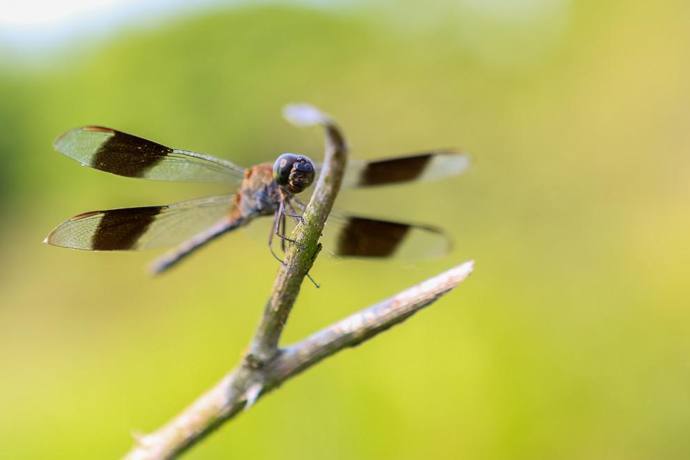En Colonia Independencia una libélula hace una parada a su vuelo en un arbusto cerca nuestro, lo que nos permitió fotografiarla. Las libelulas se alimentan de mosquitos y otros pequeños insectos como moscas, abejas, mariposas y polillas y son valiosas como depredadores controlando las poblaciones de insectos. (Tetsu Espósito)