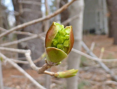 Norway maple flower bud - April 14 / Day 104