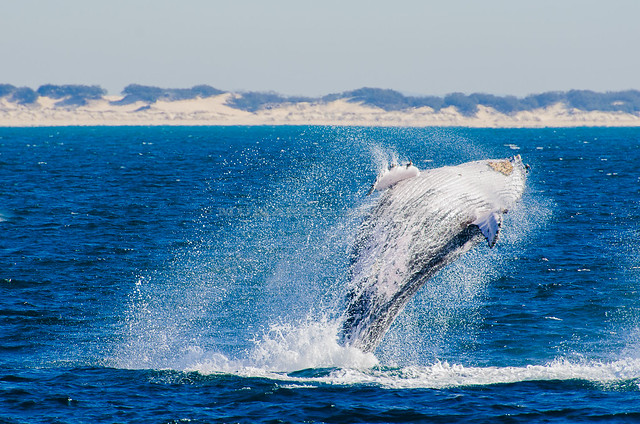 Humpback Whale - 1