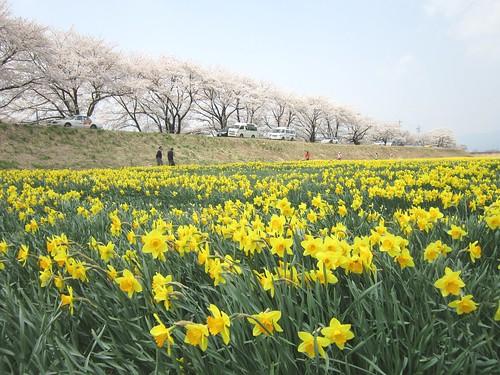 上川沿いの桜と水仙 2013.4.16 by Poran111