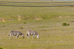 animal, prairie, zebra, plain, mammal, grazing, fauna, savanna, grassland, safari, wildlife,